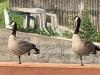 geeseonbridge