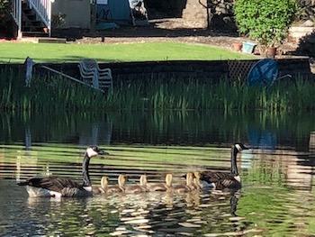 goose-family.jpg