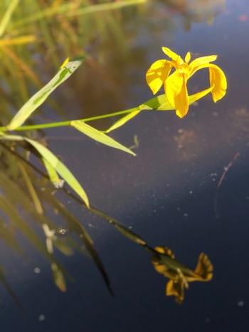 yellowbloom.jpg